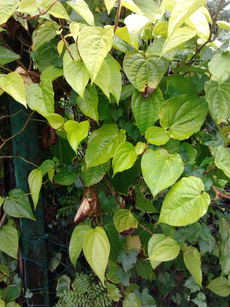 Pokok sireh - Piper betle