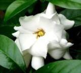 Bunga cina (gardenia augusta )