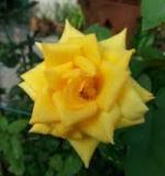 rose kuning