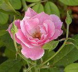 rose / mawar