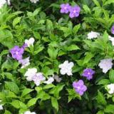Yesterday-today-tomorrow ( Brunfelsia pauciflora )
