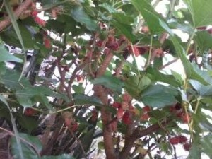 pokok Mulberry