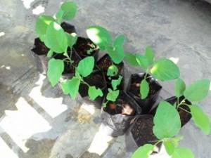 anak benih yg sudah tumbuh perlu di ubah untuk mendapatkan cahaya matahari yg cukup