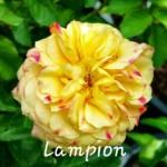 rose42